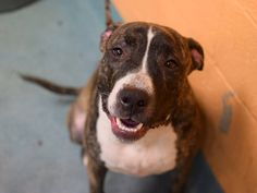 TO BE DESTROYED - 03/11/15 Brooklyn Center**NEW PHOTO**  My name is MASON. My Animal ID # is A1029308. I am a neutered male br brindle and white pit bull mix. The shelter thinks I am about 1 YEAR   I came in the shelter as a OWNER SUR on 03/03/2015 from NY 11215, owner surrender reason stated was CHILDCONFL.   https://www.facebook.com/Urgentdeathrowdogs/photos/a.611290788883804.1073741851.152876678058553/975128759166670/?type=3&theater