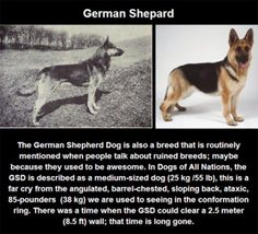 What Years of Selective Breeding Did To Purebred Dogs Is Disturbing. #GermanShepard