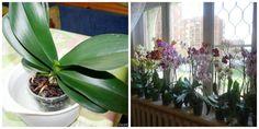 Keby som vedela, že jej len stačí potrieť listy týmto, urobila by som to dávno: Jedna rada z internetu a takto mi zakvitla! Bulb Flowers, Ikebana, House Plants, Terrarium, Flora, Home And Garden, Herbs, Table Decorations, Gardening