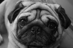 How can you not love a pug's face?