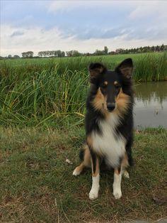 #collie #dog