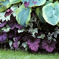 12 GREAT FOLIAGE PLANTS FOR THE BORDER (Shown:  Heuchera 'Velvet Night' & Hosta [Unnamed]) - Sunset