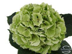 """Cut hydrangea flower """"Verena"""" (Green)"""