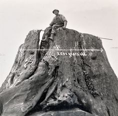 """Close up of an RPPC sent October 2nd of 1934, it shows a logger atop a recently fallen tree. The giant (Redwood?) tree has grown over another 8ft. wide tree which has been laying there for 2500 years according to the image. Reverse has an original 1 cent Yosemite stamp with warm wishes and an update from the road. The last line reads """"I sold $9.00 in dogs yesterday"""". Etsy.com/shop/CosmicLibrary"""