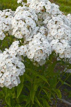 25 Best Perennials for Landscapes images in 2019 | Garden