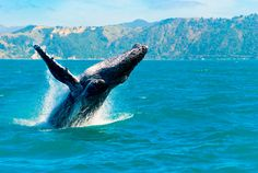 Maui Whale Watching is one of the most popular activities to do in Hawaii. See the most comprehensive whale watching visual guide all about humpback whales in Maui. Whale Watching Cruise, Fauna Marina, Top 10 Destinations, Visit Hawaii, Humpback Whale, South Island, Cool Places To Visit, Surfing, Wildlife
