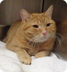 Marietta GA - Can You Adopt or Foster One. - Please Share/Help - Cobb County Kitties Yesterday · Edited · · This is Patches. Patches owner moved to assisted living, so poor Patches was turned in to animal control on May 27, 2015. Patches came in with QT and Spice. Patches is a handsome 4 year old orange tabby said to be very sweet. Poor boy needs an Adoption or Rescue commitment. ID: 574754 Adoption Status: Adoptable Intake Information Acquired On: 05/27/2015 How Acquired: Owner Turn-In CAT1…