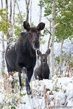 Cow and calf moose in snow covered green aspens in the wasatch mountains, Utah