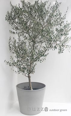 Big Indoor Plants, Indoor Trees, Potted Trees, Large Plants, Balcony Plants, House Plants, Garden Trees, Garden Pots, Faux Olive Tree