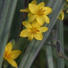 Hypoxis rigidula Golden Star, Planting Bulbs, Star Shape, Garden Plants, Wild Flowers, Grass, Plants, Grasses, Herb