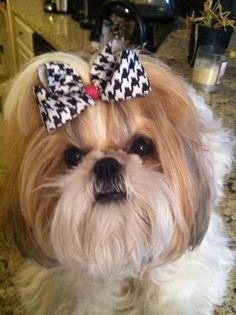 Pretty Shih Tzu Puppy. #Shitzu #Puppy