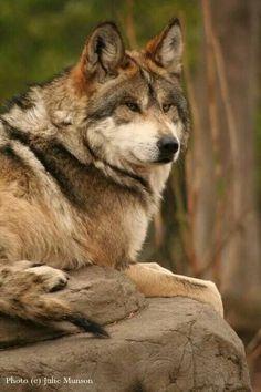Nice Looking Wolf