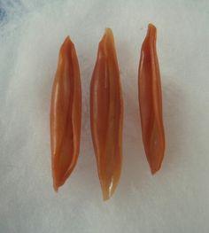 Seashell Aclyvolva lanceolata