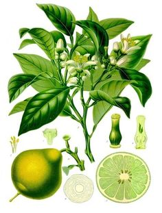 The Bergamot orange (Citrus bergamia) is a fragrant fruit the size of an orange, with a yellow colour similar to a lemon. The distinctive aroma of the bergamot is most commonly known for its use in Earl Grey tea. Bergamot Orange, Fruit Illustration, Botanical Illustration, Botanical Drawings, Botanical Prints, Bergamot Essential Oil, Essential Oils, Medicinal Plants, Aromatherapy