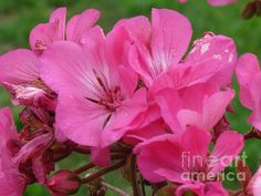 'Pink Geraniums' Fine Art Photography by Margaret Newcomb Photography of the annual flowers 'Pink Geraniums' taken in an Illinois Midwest garden.  #geraniums #FineArt #QuadCities #Margaret Newcomb #pink  Visit my Fine Art Store to purchase Prints: http://margaret-newcomb.artistwebsites.com/art/all/all/framed+prints