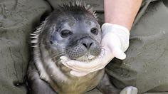 "Heuler ""Max"" in der Seehundstation Friedrichskoog. © dpa"
