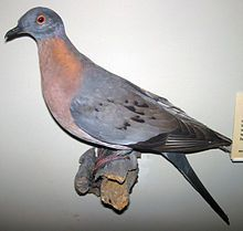 Passenger pigeon (Ectopistes migratorius) extinct 100 years ago. This is a taxidermy prepared specimen.