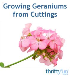 This is a guide about growing geraniums from cuttings. Geraniums are one of the easiest plants to start from cuttings. If you live in a colder area you can take cuttings to overwinter and have a good start on your spring garden. Propagating Geraniums, Growing Geraniums, Geraniums Garden, Propagate Succulents From Leaves, Plant Cuttings, Garden Shrubs, Growing Plants, Red Geraniums, Growing Vegetables