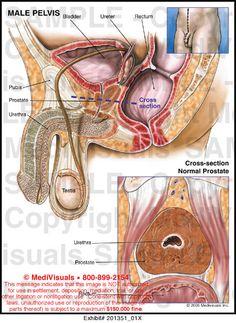 plexus and the pudendal nerve - Buscar con Google | Body