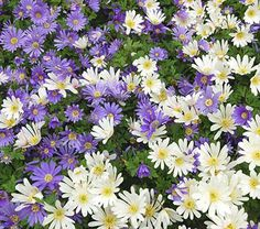 Anemone Blue and White Mixture