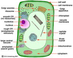 Cells For Kids  Including directions for building cell models. Good ideas!