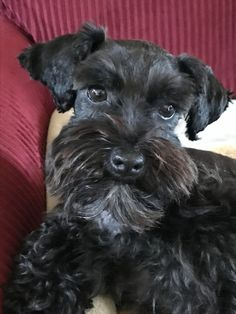 "Obtain fantastic suggestions on ""schnauzer puppies"". They are offered for you on our internet site. Black Schnauzer, Miniature Schnauzer Puppies, Schnauzer Puppy, Beagle Puppy, Standard Schnauzer, Cute Puppies, Cute Dogs, Dogs And Puppies, Schnauzer Grooming"