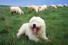 schapendoes - Bing Afbeeldingen