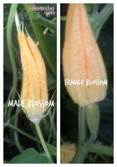 """male and female squash blossoms; you only want to use the """"male"""" blossoms for fried squash blossoms~The Homesteading Hippy"""