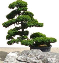 Gartenbonsai - Taxus cuspidata, ca. 30 Jahre - www.bonsai.de