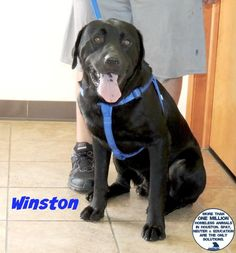 Meet Winston, an adoptable Labrador Retriever looking for a forever home. If you're looking for a new pet to adopt or want information on how to get involved with adoptable pets, Petfinder.com is a great resource.