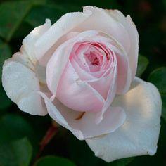 Rosa 'Souvenir de la Malmaison' (Bourbon rose) - Fine Gardening Plant Guide