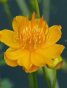 Trollius Chinensis 'Golden Queen'. These are globe flowers with fibrous roots. Love sun and slightly damp soil.