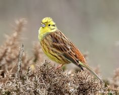 The yellowhammer is a passerine bird in the bunting family that is native to Eurasia and introduced to New Zealand
