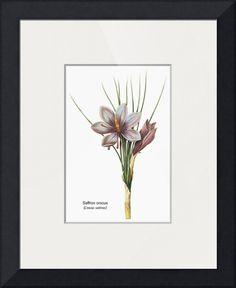 Saffron Crocus (Crocus Sativus) Botanical Art by ArtLoversOnline