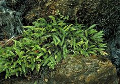 """Blechnum penna-marina """"Alpine Water Fern"""" - grows to about tall, and spreads quickly. Dark green smooth fronds and likes full shade. Aquatic Plants, Air Plants, Low Growing Ground Cover, Unusual Plants, Garden Show, Drought Tolerant, Container Plants, Water Garden, Ferns"""
