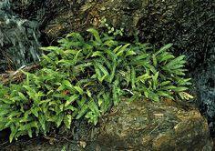 """Blechnum penna-marina """"Alpine Water Fern"""""""