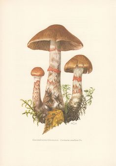 1963 Red-banded Cortinarius Botanical Print Vintage by Craftissimo