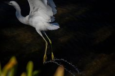 A trail of water is suspended in midair from the feet of a snowy egret taking flight, Bay Farm Island, Alameda, California, US Humpback Whale, Natural World, The Guardian, Alameda California, Wildlife, Environment, Birds, Island, Pictures