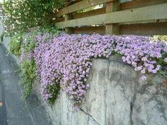 【クリーピングタイム】他雑草を駆逐するグランドカバーハーブ ピンクのじゅうたん 雑草対策◎ 虫を寄せ付けない 花期 5月-9月(もっと短い場合も)耐寒性/-10°迄 花が終わったらムレ防止の切り戻し要 植付は酸性土なら石灰を撒く 花にはハチが来る 他病害虫心配なし 放任メンテでok