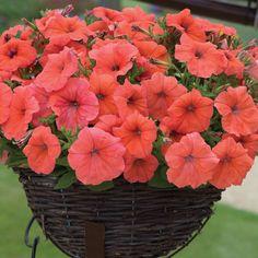 Petunia 'Orange Punch' - Annual Plants - Thompson & Morgan - Another! Petunia Plant, Petunia Flower, Petunias, Zinnias, Container Gardening Vegetables, Succulents In Containers, Container Flowers, Container Plants, Vegetable Gardening