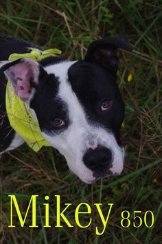 "URGENT!!! ""MIKEY"" (lovable & sweet) MAHONING DOG KENNEL Youngstown, OHIO...Mikey (ID #850) is a very handsome young guy. He is approximately 6 months old and very lively but well eager to learn. Mikey appears to be a pit mix and weighs about 60 pounds.CONTACT: stoohey@mahoningcountyoh.govAvailable: 9/26All dogs are..."