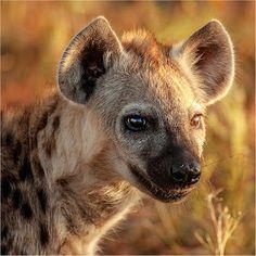 hyena portraits - Google zoeken