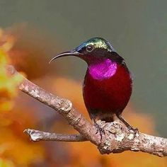 Hummingbird - Purple-throated Sunbird - natural habitats are subtropical or tropical moist lowland and mangrove forests of southeast Asia. (Photo by Lawrence Neo) Kinds Of Birds, All Birds, Little Birds, Love Birds, Angry Birds, Pretty Birds, Beautiful Birds, Animals Beautiful, Cute Animals