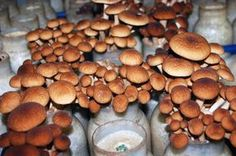 Chestnut mushrooms grow in jars for seven weeks: four to fruit, and three more to sprout to harvest size above the jar's rim.