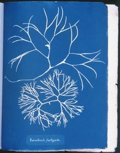 Anna Atkins 'Furcellaria fastigiata', from Part IV, version 2 of 'Photographs of British Algae: Cyanotype Impressions' 1846 Atkins, Anna, Books Art, Ocean Flowers, John Herschel, Cyanotype Process, Hair In The Wind, New York Museums, History Of Photography
