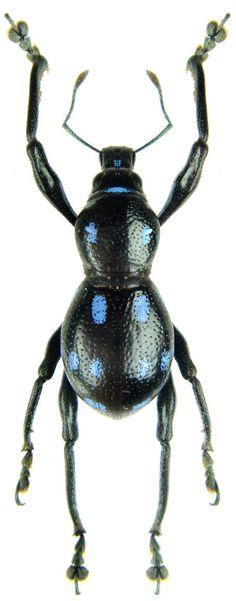 Metapocyrtus lindabonus (Blue)