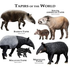 Fine art illustration of all extant species of tapir. Their closest relatives are the other odd-toed ungulates, which include horses, donkeys, zebras, and rhinoceroses. Animals Of The World, Animals And Pets, Baby Animals, Cute Animals, Unusual Animals, Animals Beautiful, Strange Animals, Javan Rhinoceros, Animals Information