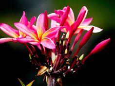 Leilani II fine art print Hawaii flower by FireSpiritDesigns, $25.00 ©2011 Patricia Griffin Brett embedded copyright