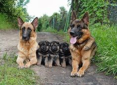 German Shepherd Dog Family enjoying their time together as a family Animals And Pets, Baby Animals, Funny Animals, Cute Animals, Animal Babies, Wild Animals, Funny Cats, Big Dogs, Cute Dogs