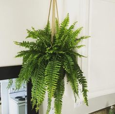 Ferns are subtropical plants so this one will need a good amount of humidity to thrive, but once it grows, it's a beautiful hanging decorative piece. Available at Home Depot ($17), Lowes ($15), and your local plant store.